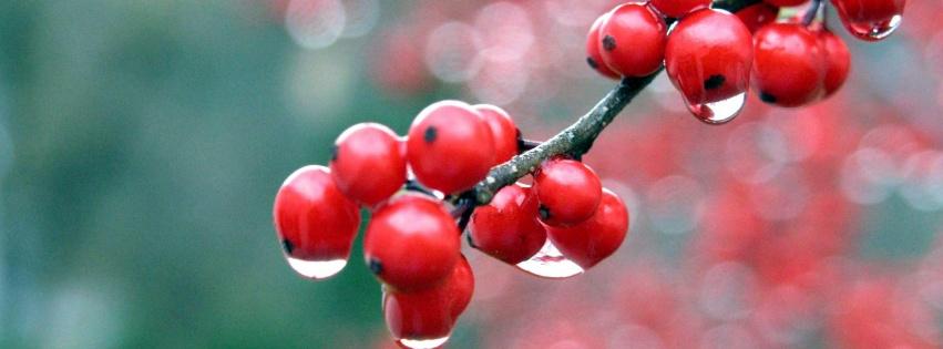 fruits rouges groseilles