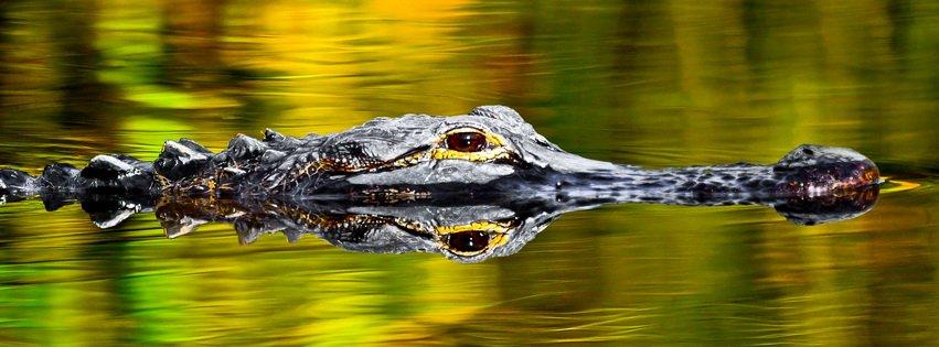 alligator couverture facebook